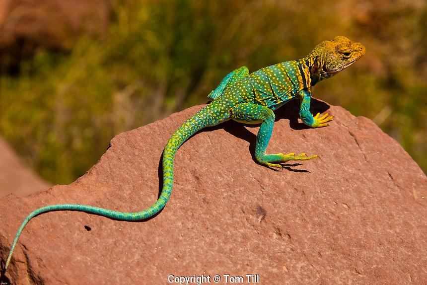 Collared Lizard<br /> Canyonlands National Park, Utah<br /> Crotophytus collaris<br /> Beautiful lizard of Utah Colorado Plateau