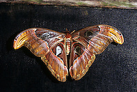 BUTTERFLIES &amp; MOTHS<br /> Atlas Moth, Attacus atlas<br /> Thought to be the largest moth in the world with a wing span of 10-12 inches.