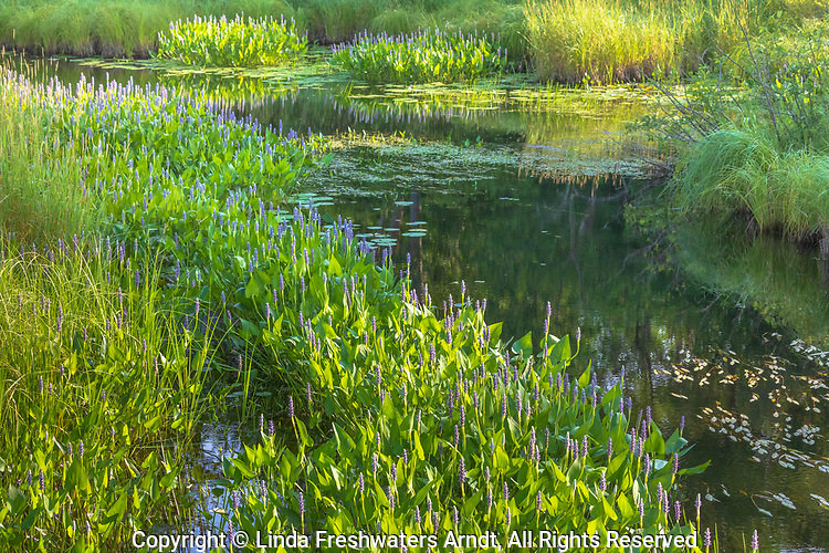 Pickerelweed growing in a waterway in the Chequamegon National Forest in northern Wisconsin.