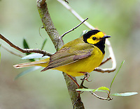 Adult male hooded warbler