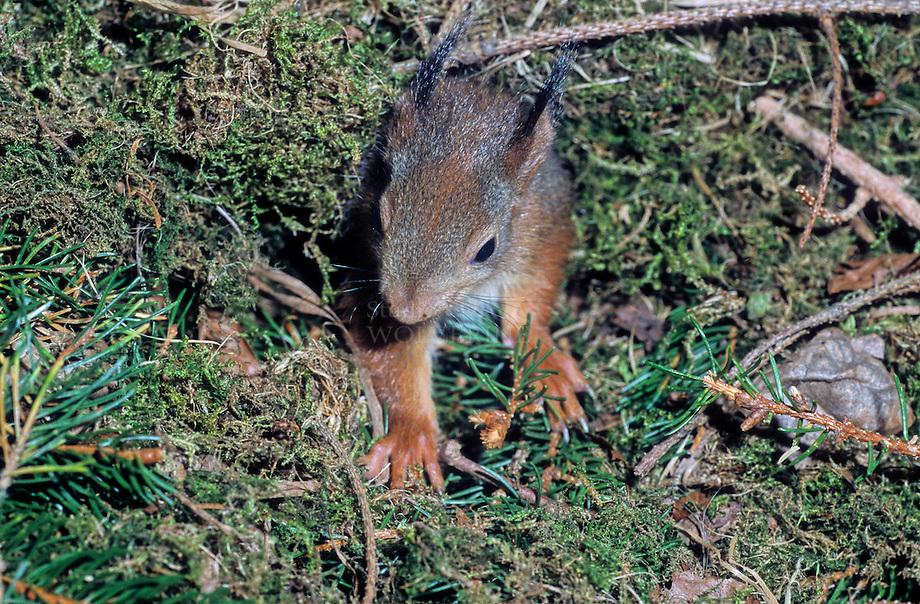 Eekhoorn (Sciurus vulgaris), jong in nest