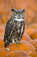 Great-horned Owl (bubo virginianus) perched on a pumpkin in a pumpkin patch near Denver, Colorado, USA