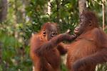 Bornean Orangutan (Pongo pygmaeus wurmbii) - juveniles