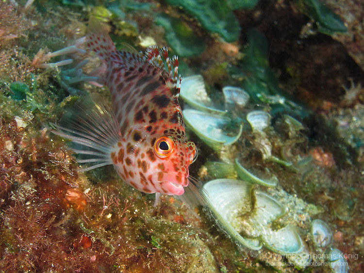 Kenting, Taiwan -- Pixy hawkfish (Cirrhitichthys oxycephalus)