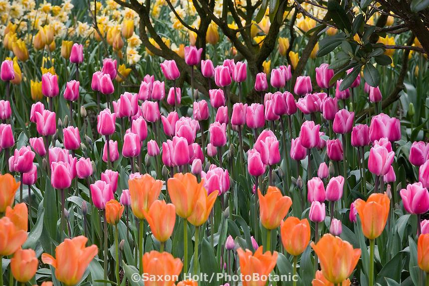 Pink flower Single Late Tulip (Tulipa ) 'Aristocrat' in Roozengaarde garden at Tulip Festival, Skagit Valley Washington