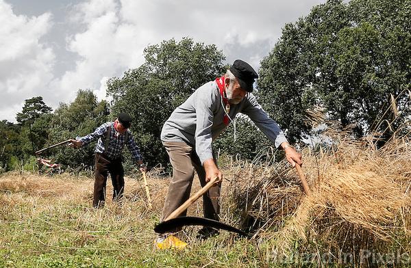 Leusden-  De Stichting Behoud Oude Werktuigen organiseert de jaarlijkse oogstdag op landgoed Den Treek. Het oogsten van rogge met behulp van een zicht