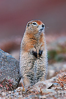 Arctic Ground Squirrel (Spermophilus parryii), adult standing, Alaska, USA