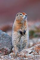 Arctic Ground Squirrel (Spermophilus parryii), adult standing, Alaska, USA