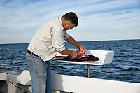 Man cleans a fish caught on a charter fishing boat, Cape Cod, Massachusetts, USA.