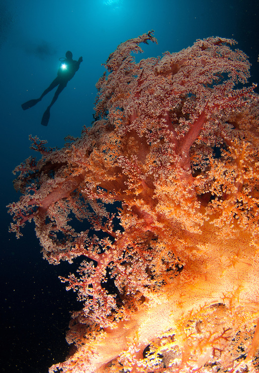 close up view of tree soft coral: Dendronephthya sp. with diver, Gorontalo, Sulawesi, Indonesia