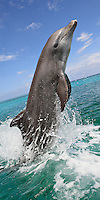 qk40171-D. Bottlenose Dolphin (Tursiops truncatus). Honduras, Caribbean Sea. Photo tilted on purpose..Photo Copyright © Brandon Cole. All rights reserved worldwide.  www.brandoncole.com..This photo is NOT free. It is NOT in the public domain. This photo is a Copyrighted Work, registered with the US Copyright Office. .Rights to reproduction of photograph granted only upon payment in full of agreed upon licensing fee. Any use of this photo prior to such payment is an infringement of copyright and punishable by fines up to  $150,000 USD...Brandon Cole.MARINE PHOTOGRAPHY.http://www.brandoncole.com.email: brandoncole@msn.com.4917 N. Boeing Rd..Spokane Valley, WA  99206  USA.tel: 509-535-3489