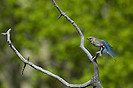 Mountain bluebird, Sialia currucoides, female, behavior, wildlife, wild, bird, aspen, snag, branch, spring, June, morning, Rocky Mountain National Park, Colorado, USA