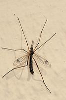 Schnake, Männchen, Dictenidia bimaculata, cranefly, crane fly, crane-fly, Schnaken, Tipulidae, Ctenophorinae, crane flies, crane-flies, daddy-long-legs