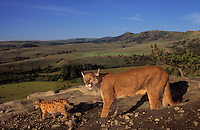 COUGAR/MOUNTAIN LION/PUMA..Mom & young aged 4 weeks look over farmlands in early morning..Autumn. Rocky Mountains. (Felis concolor).