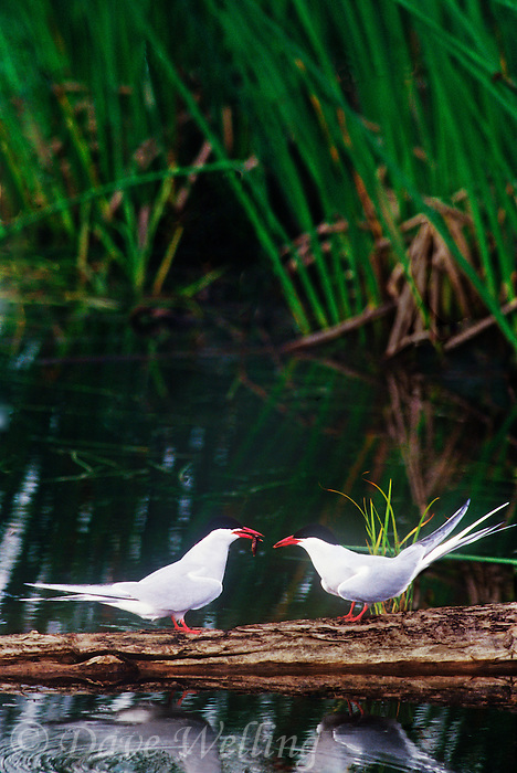 581600425 a mated pair of wild arctic terns sterna paradisaca stand on a dead tree stump in potters marsh near anchorage alaska