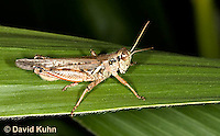 0110-0913  Migratory Grasshopper, Melanoplus sanguinipes   © David Kuhn/Dwight Kuhn Photography