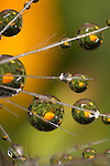 USA; California; San Diego; Water droplets on a dandelion seed parachute.