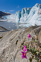 Dwarf fireweed, Chenega glacier, Prince William Sound, Alaska.