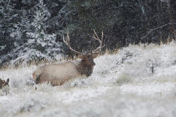 Elk, Wapiti (Cervus elaphus), Rocky Mountain National Park, Colorado, USA