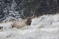 Elk, Wapiti (Cervus elaphus), Rocky Mountain National Park, Colorado, USA