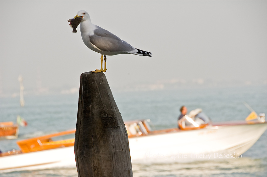 A gull looking at the photographer and eating a small fish on a venetian wood pile. (Venise, Octobre 2006)