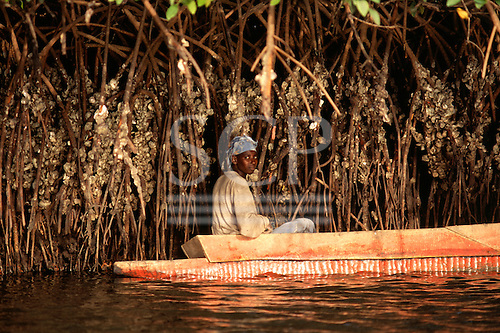 The Gambia. Man in a dugout canoe collecting oysters from the stems of mangroves.