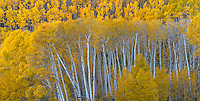 Boulder Mountain, Dixie National Forest, Utah: Colorful stands of aspens in autumn on Boulder Mountain