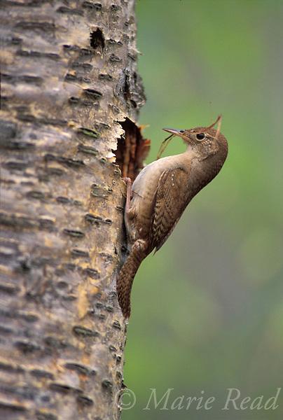 House Wren (Troglodytes aedon) (female) bringing nest material to nest cavity, New York, USA.<br /> Slide # B134-09