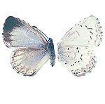 Cherry Gall Azure Butterfly, female,  Celastrina serotina, female