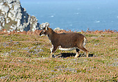 Soay Sheep, Lundy Island