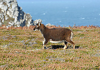 Soay Sheep, Lundy Island
