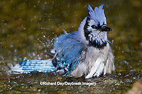 01288-05701 Blue Jay (Cyanocitta cristata) bathing, Marion Co., IL