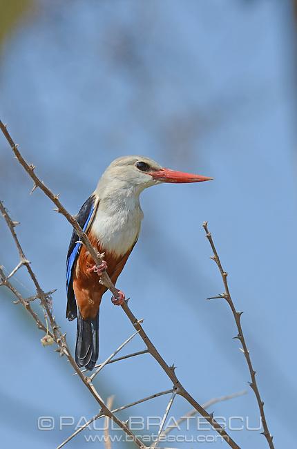 Grey-headed Kingfisher (Halcyon leucocephala) Ngorongoro Tanzania Africa