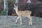 FB 405  Mule Deer Fawn.  5x7 PC