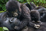 Mountain gorilla with offspring, Volcanoes National Park, Rwanda