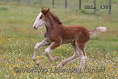 Bob, ANIMALS, REALISTISCHE TIERE, ANIMALES REALISTICOS, horses, photos+++++,GBLA4386,#a#, EVERYDAY