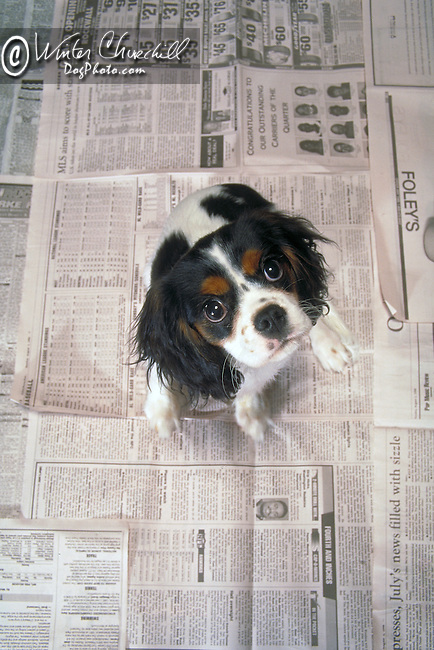 Regal Cavalier King Charles Spaniel in the studio Shopping cart has 3 Tabs:<br /> <br /> 1) Rights-Managed downloads for Commercial Use<br /> <br /> 2) Print sizes from wallet to 20x30<br /> <br /> 3) Merchandise items like T-shirts and refrigerator magnets
