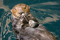 Southern sea otter, Enhydra lutris nereis, feeding on a muscle, Monterey, California, USA, Pacific Ocean, national marine sanctuary, endangered species
