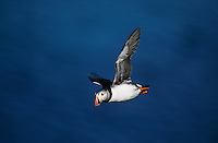 Atlantic Puffin, Fratercula arctica, adult in flight, Hornoya Nature Reserve, Vardo, Norway, Europe