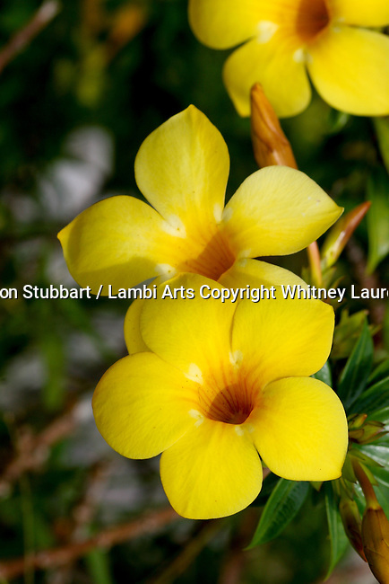 2007 Copyright  Whitney Lauren Robinson Stubbart / Lambi Arts Botanical Flower Photography Puerto Rico, Yellow orchid, Red ginger, yellow mountain flower,