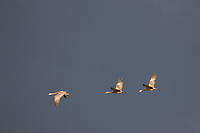Sandhill cranes during the autumn migration south stop over at Creamer's Field Migratory Waterfowl Refuge in Fairbanks, Alaska.