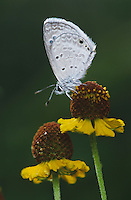Ceraunus Blue, Hemiargus ceraunus, male, Starr County, Rio Grande Valley, Texas, USA, May 2002