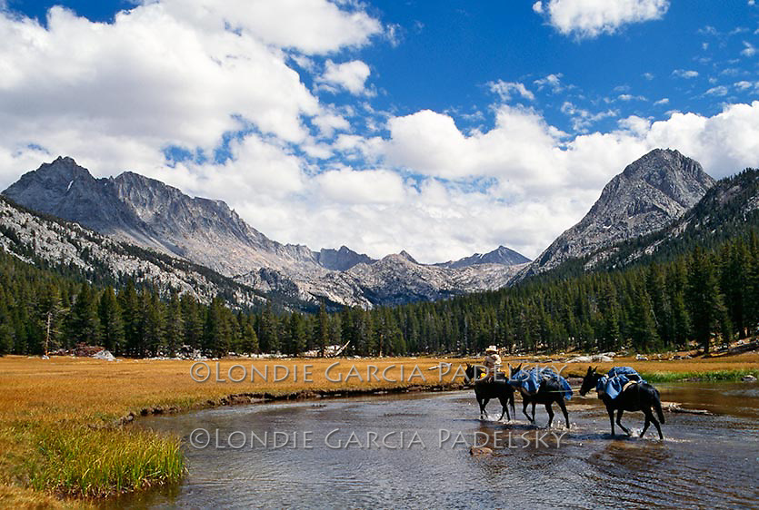 Cowboy leading pack mules across river, Evolution Basin in the Kings Canyon National Park, California