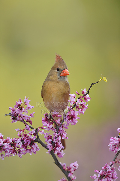Northern Cardinal ( Cardinalis cardinalis), adult female perched on blooming Eastern Redbud (Cercis canadensis), Hill Country, Central Texas, USA