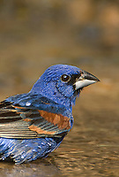 538680029v a wild male blue grosbeak guiaca careula bathes in a small pond on a private ranch in the rio grande valley of south texas