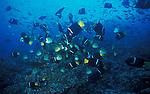 King Angelfish - Holacanthus Passer.and Barberfish - Johnrandallia nigrirostris.Galapagos Islands, Ecuador..Scools of fish over reef...