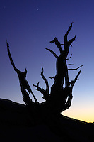 Bristlecone pine silohuetted against nighttime starry sky, Inyo National Forest, White Mountains, California, USA