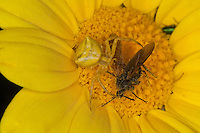 Gehöckerte Krabbenspinne, Krabbenspinne mit Beute, Weibchen, Thomisus onustus, crab spider, Krabbenspinnen, Thomisidae, crab spiders