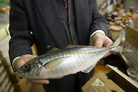 Maiduru president, Etsuji Isozaki, holds a plastic fish at Maiduru Corporation, Tokyo, Japan, 22nd December 2008. Maiduru corporation makes highly realistic plastic food for display in restaurant and cafe windows. .