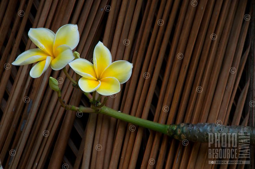 Yellow plumeria flowers outside a recreated Hawaiian thatched house at Kamokila Hawaiian Village, Wailua River Valley, Kauai.